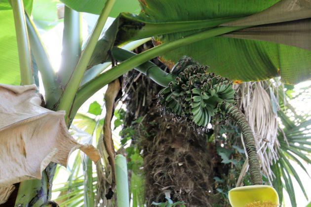 В Ужгороді квітнуть та плодоносять… банани