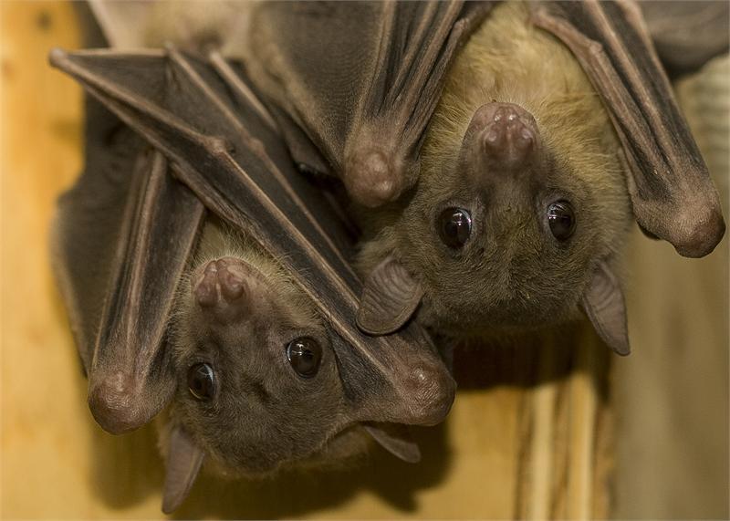 В Ужгороді вперше по-справжньому відзначать міжнародну ніч кажанів
