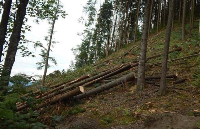 """Службовці філії """"Міжгірське ЛАГ"""" підробляли акти про очищення лісосік"""