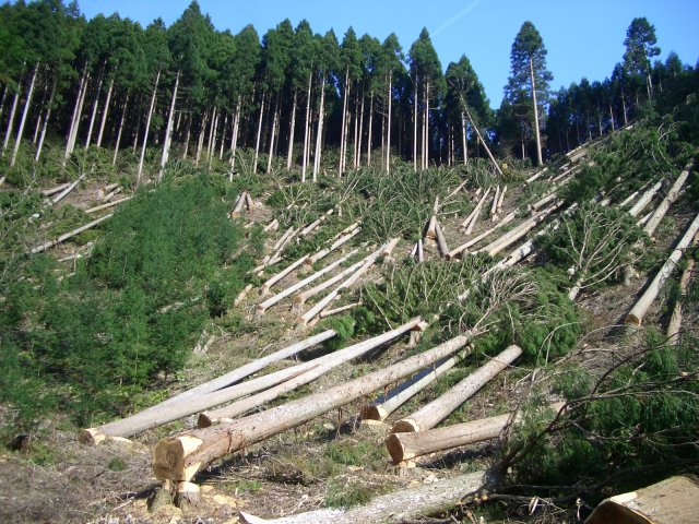 """Більшу частину лісу на Закарпатті вирубали під виглядом санітарних рубок, а необроблена деревина йшла """"зацікавленим"""""""