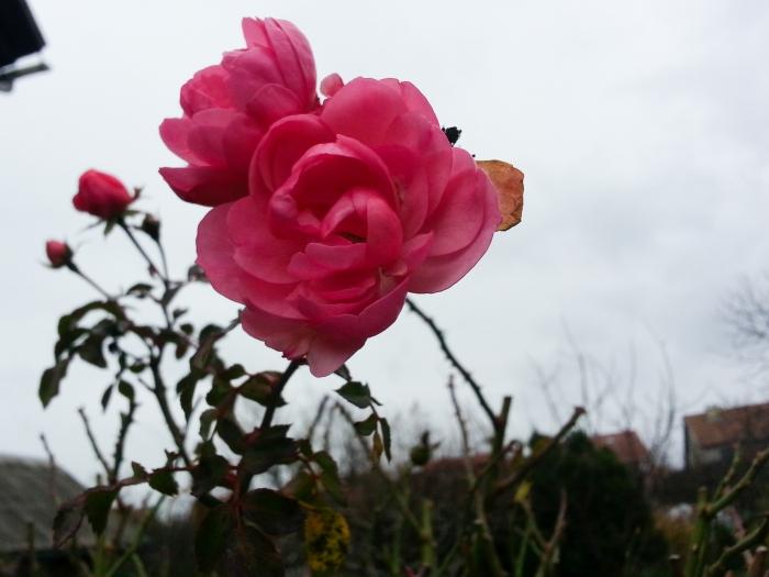 Незважаючи на холод, в Ужгороді цвітуть троянди