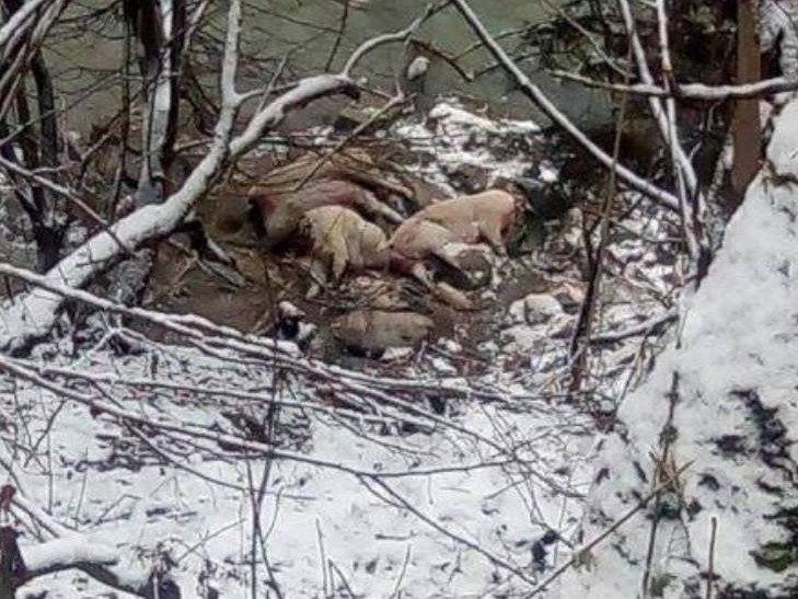У тушах загиблих свиней, які викинули на берег річки, жодних ознак африканської чуми не знайшли