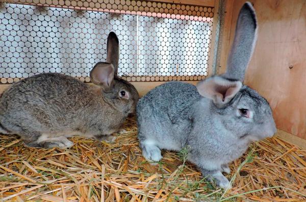 У Виноградові показали кроликів елітних порід
