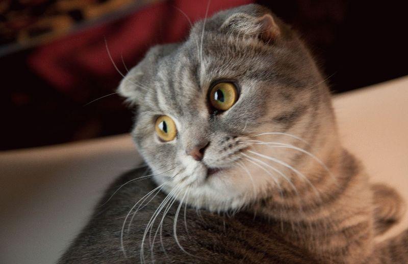 В Ужгороді родина з Маріуполя розводить унікальних котів
