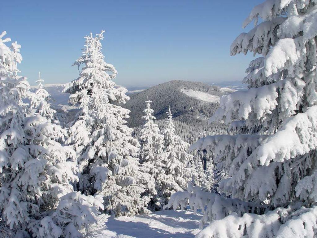 На території кількох районів Закарпаття не будуть заготовлювати новорічні ялинки