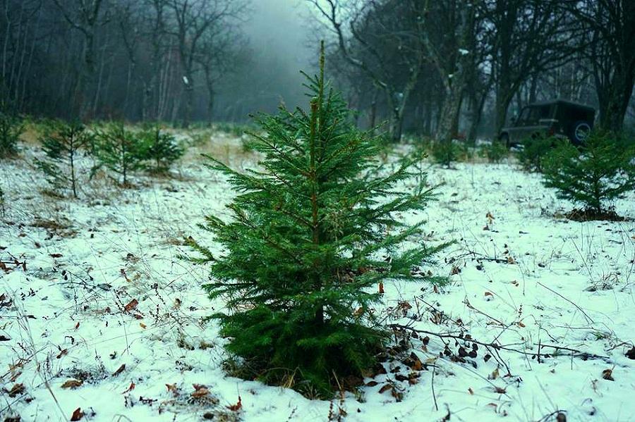 П'ять лісгоспів Закарпаття виступили проти вирубок новорічних ялинок