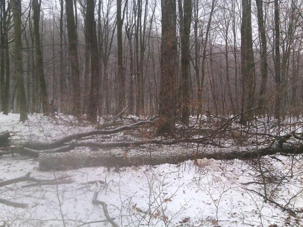 На Закарпатті «чорні лісоруби» нарубали ділового дуба на 40 тисяч гривень