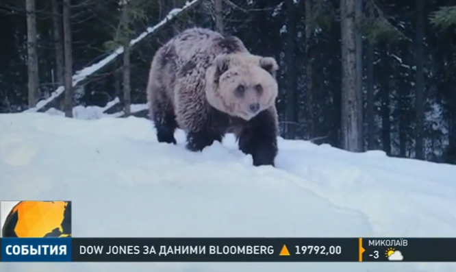 Бурий ведмідь напав у Карпатах на двох туристів