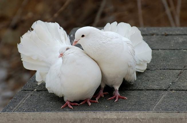 """Три сотні голубів """"злетілись"""" на виставку в Ужгороді"""