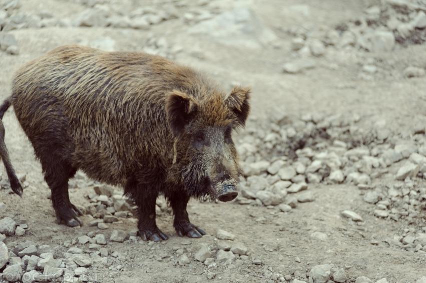 На Виноградівщині у загиблих диких кабанів виявили африканську чуму свиней, – ЗМІ