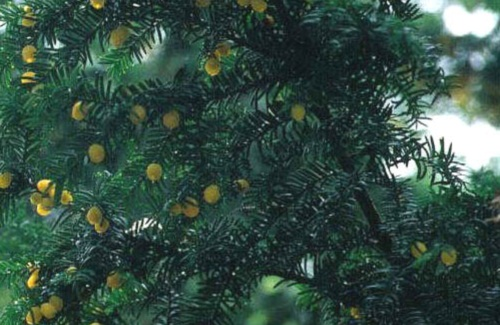Найбільше дерево тису в Українських Карпатах зростає на Рахівщині