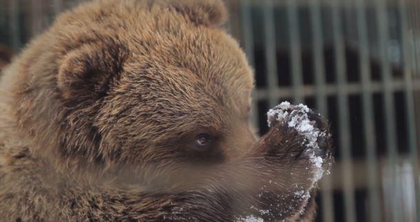 У Синевирі, що на Закарпатті, до нормального життя повертають бурих ведмедів, які постраждали від жорстокого ставлення людей