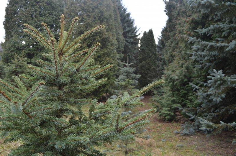 Лісівники назвали суму, виручену за продаж новорічних ялинок