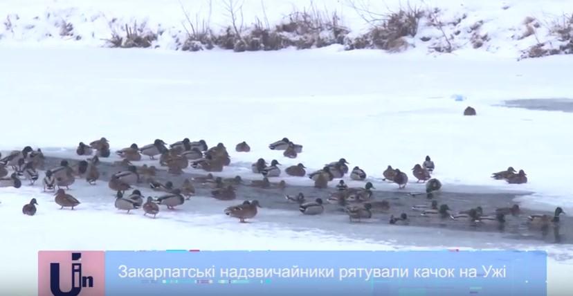 Ужгородські рятувальники рятували качок, які примерзли до льоду на річці Уж