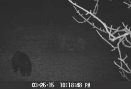 У горах Закарпаття бродить ведмідь, який не впав у сплячку: оприлюднено відео
