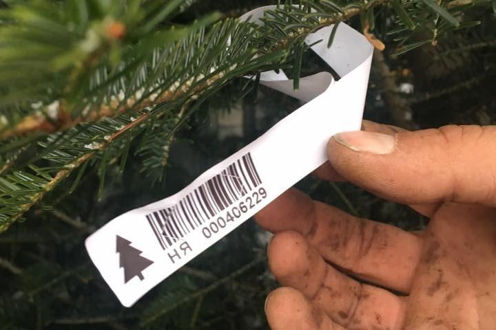 Лісівники розповіли, чи багато браконьєри зрубали новорічних ялинок