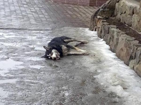 В Ужгороді почастішали випадки отруєння собак