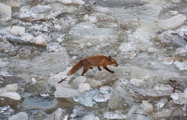 Рятуючись від негоди, дикі тварини ходять кригою, яка дісталася Угорщини із Закарпаття