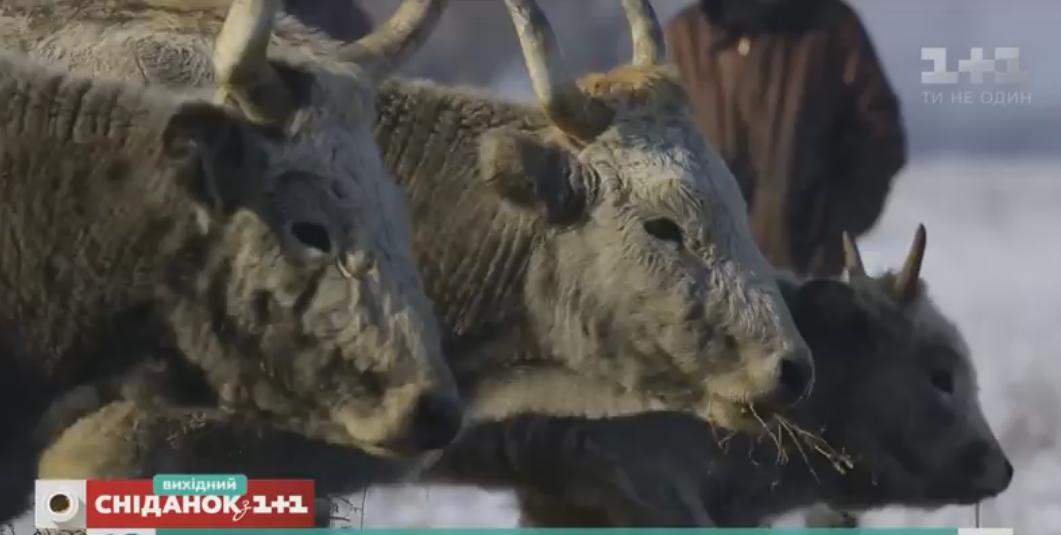 """Журналісти каналу """"1+1"""" розповіли про унікальних закарпатських корів, які не дають молока"""