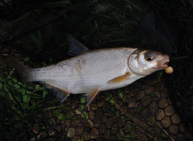 Стала відома причина масової гибелі риби в Ужі