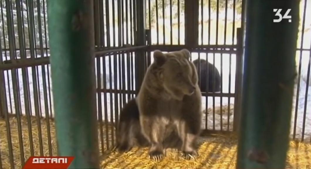Ведмедиця Ляля з Дніпра звикає до життя в нових умовах у Синевирі, що на Закарпатті