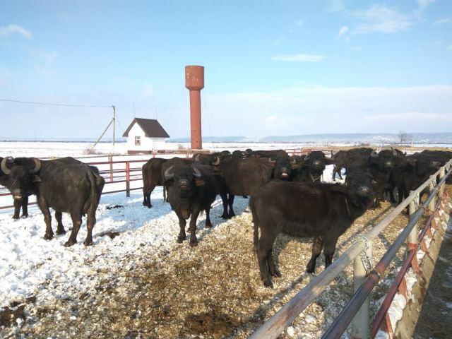 Унікальна ферма буйволів знаходиться на Виноградівщині