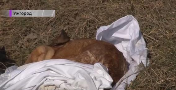 В Ужгороді нікому забирати мертвих тварин з вулиць