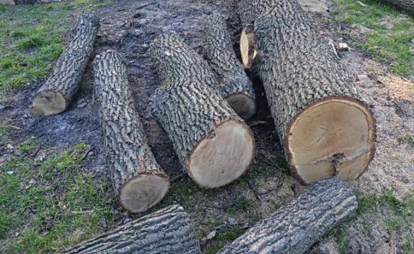 На Великоберезнянщині браконьєри нарубали дерев на 200 тисяч гривень