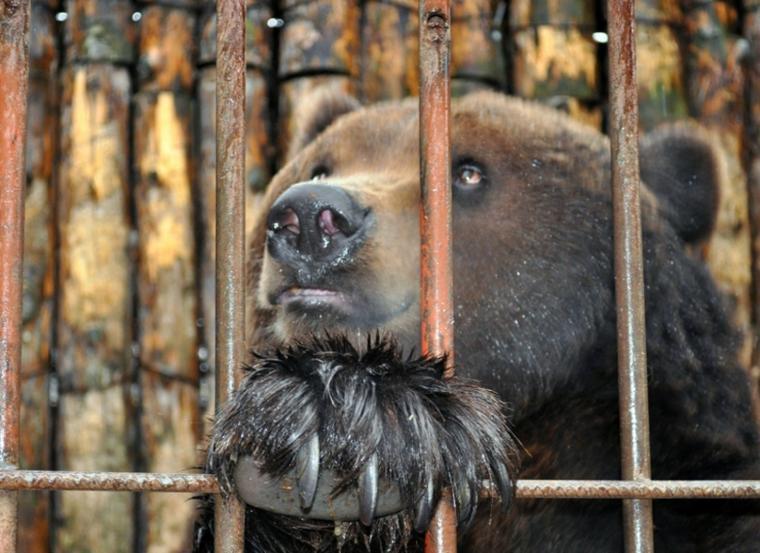 Ведмедя Стефана із хмельницького зоопарку перевезуть до закарпатського Синевира