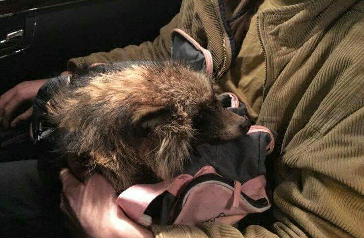 В Ужгороді знайшли єнота із відрізаними лапками. Волонтери взялись за його лікування