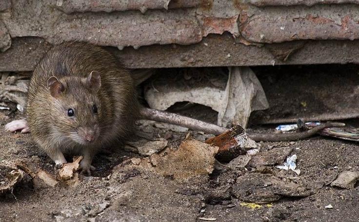 В Ужгороді поруч із дитячим майданчиком бігають пацюки
