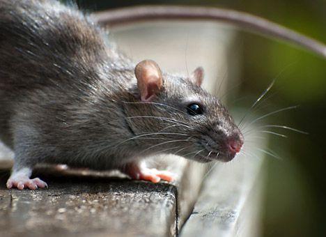 В обласному центрі масово винищуватимуть щурів