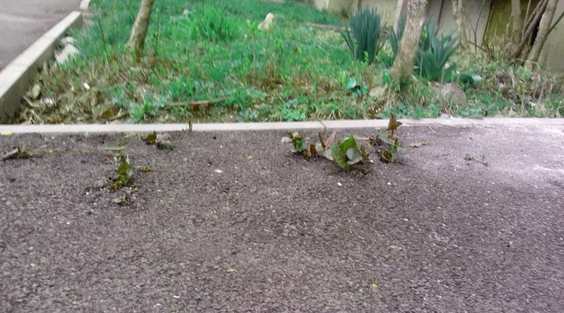 У Мукачеві крізь асфальт, покладений тільки восени минулого року, почала проростати трава