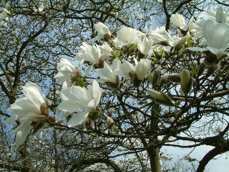 Весняне цвітіння: в Ужгороді розквітла магнолія