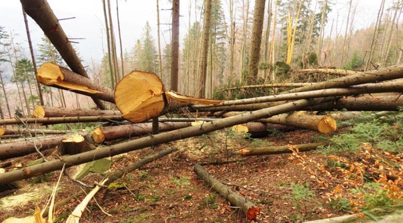 На Хустщині незаконно нарубали лісу на 250 тисяч гривень