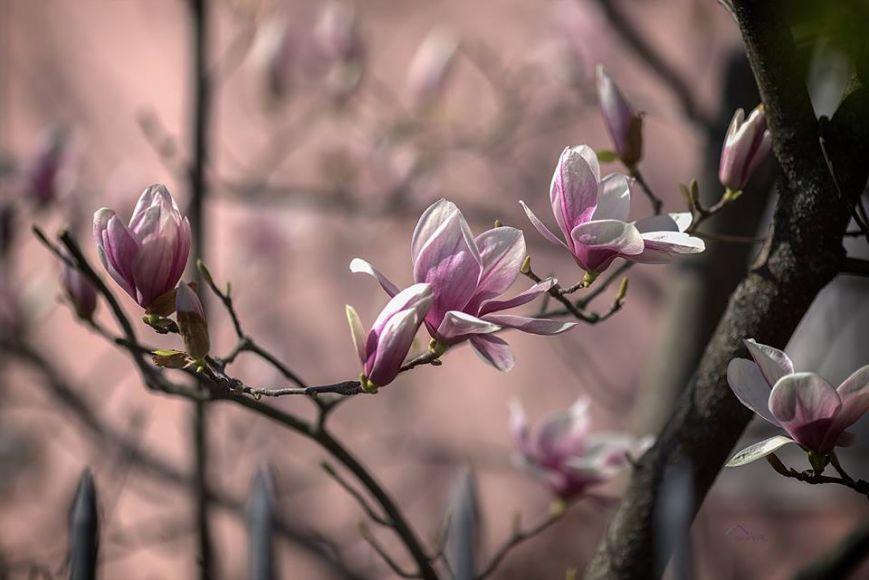 Квітучий Ужгород на відео