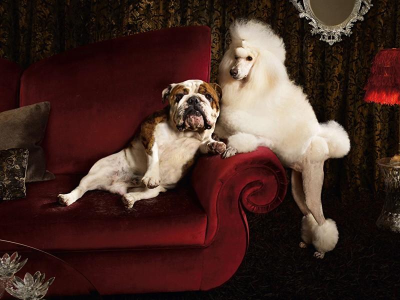 Пуделі, мастіфи, бульдоги: на Закарпатті відбулась виставка собак