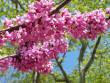 Напередодні Великодня в Ужгороді розквітло Іудине дерево