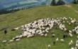 На Тячівщині святково проводжатимуть вівчарів на полонину