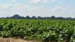 Як біля Мукачева тютюн вирощують