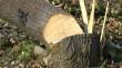 На Рахівщині судитимуть місцевого жителя, який незаконно порубав хвойні дерева вартістю понад 300 тисяч грн