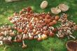Закарпатка назбирала 14 кошиків грибів