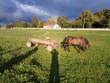 Муніципали складають протоколи на мукачівців, які випасають коней на зелених зонах