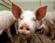 У Мукачеві зняли карантинні обмеження щодо продажу свинини