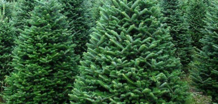 На Ужгородщині продаватимуть новорічні ялинки з електронними чіпами