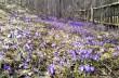 У мальовничій Колочаві почали масово квітнути крокуси