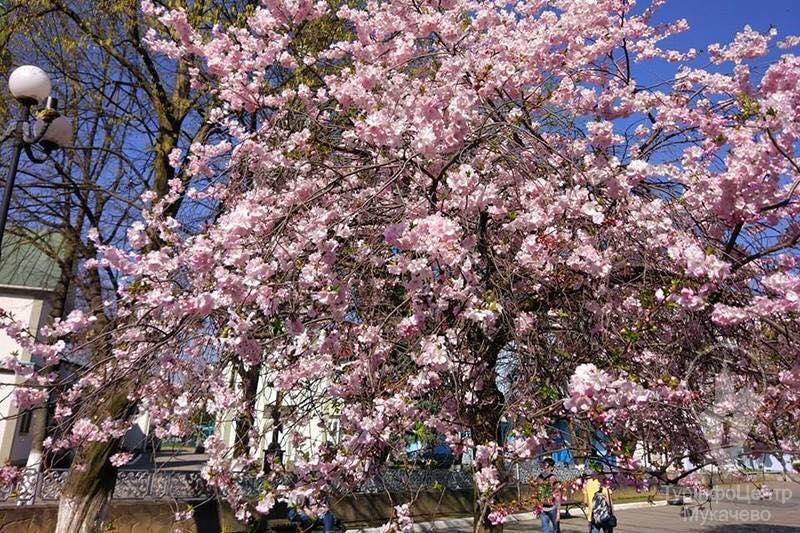 Мукачево визнали найкращим містом Закарпаття для милування сакурами