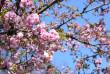 Вишні, магнолії, сакури: із кожним днем в Ужгороді квітне дедалі більше дерев