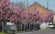 Неймовірна краса: у Мукачеві квітне найдовша алея сакур на Закарпатті