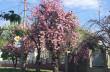 У Мукачеві росте найстаріша сакура Закарпаття